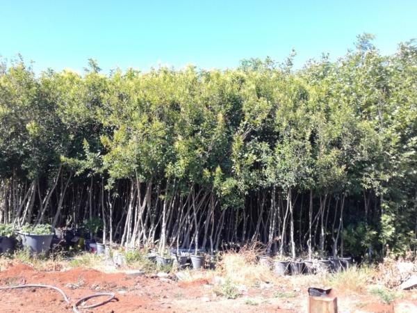 Yetişkin Ağaçlar 1